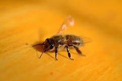 Makro- pszczoła Zdjęcie Royalty Free