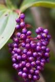 Makro- Purpurowa Jagodowa wiązka Zdjęcia Royalty Free