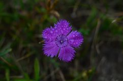 Makro purpurrote Blume nach dem Regen Stockbild