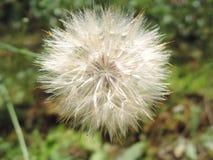 Makro- puszysty blowball kwiat Broda jak duża biała dandelion ziarna głowa Lata ziele obraz royalty free
