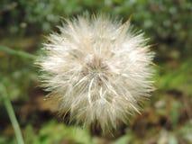 Makro- puszysty blowball kwiat Broda jak duża biała dandelion ziarna głowa Lata ziele Tragopogon pratensis fotografia stock