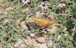 Makro- Różnobarwny Fritillary Motyli Euptoieta Claudia zdjęcie royalty free