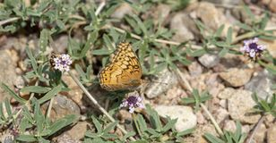 Makro- Różnobarwny Fritillary Motyli Euptoieta Claudia obraz royalty free