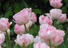 Makro- Różowi i Biali tulipany 2 zdjęcie stock