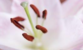 Makro- różowy duży leluja kwiat z miękką ostrością Abstrakta płatka plamy zamknięty up tło Obrazy Royalty Free