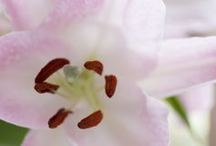 Makro- różowy duży leluja kwiat z miękką ostrością Abstrakta płatka plamy zamknięty up tło Obraz Royalty Free