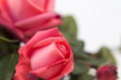 Makro- różana fotografia, kwiatu zdobycz Zdjęcie Royalty Free