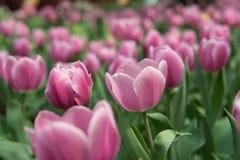 Makro- różowy tulipan w polu zdjęcia stock
