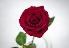 Makro röda Rose In Snow från över Arkivbilder