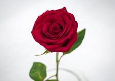 Makro röda Rose In Snow från över Royaltyfria Bilder