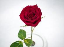 Makro röda Rose In Snow från över Arkivbild