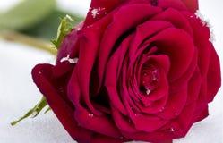 Makro röda Rose In Snow med snöflingor Royaltyfri Foto
