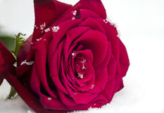 Makro röda Rose In Snow med snöflingor Royaltyfria Foton