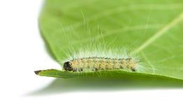 Makro- robactwo kostrzewiasta gąsienica na liściu zdjęcia royalty free