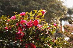 Makro rosa Blütenblumen auf Bush lizenzfreies stockbild