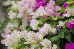 Makro rosa und weißes Bouganvilla Lizenzfreies Stockfoto