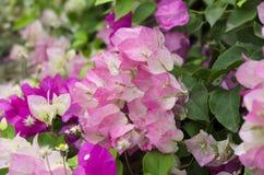 Makro rosa und weißes Bouganvilla Lizenzfreie Stockfotografie