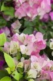 Makro rosa und weißes Bouganvilla Lizenzfreie Stockfotos