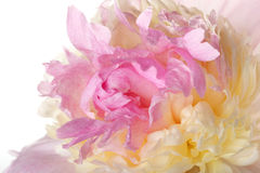 Makro rosafarbene Blumenblätter - gelbe Pfingstrose Lizenzfreies Stockfoto
