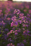 Makro rosafarbene wilde Blumen lizenzfreie stockbilder