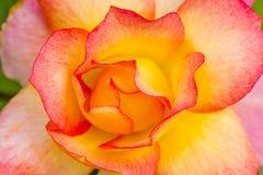 Makro Rose Blooms i trädgård Royaltyfri Fotografi