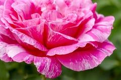 Makro Rose Blooms i trädgård Royaltyfri Foto
