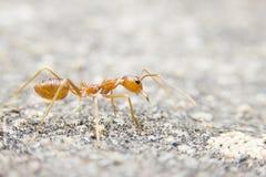 makro rote Ameise der Nahaufnahme auf Steinhintergrund Stockfoto