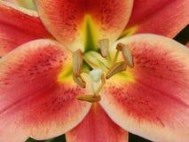 Makro rote Lilie in meinem Garten Lizenzfreie Stockfotos