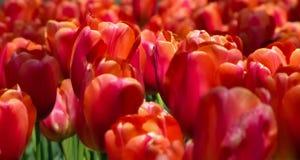 Makro rote Tulpen lizenzfreie stockbilder