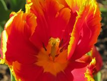 Makro rote und gelbe Tulip Center stockfotografie