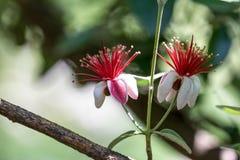 Makro rote und weiße Blumen lizenzfreies stockbild