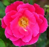 Makro roten Blume Rosachinensis-Chinesen stieg Stockbilder