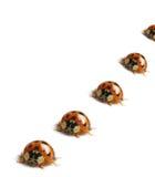 Makro roter Marienkäfer stockbilder