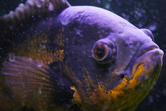 Makro- ryba Zdjęcia Stock