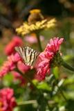 Makro- Rzadki Swallowtail Iphiclides Podalirius motyl dostaje nektar na różowym cyni Elegans kwiacie przeciw zamazanemu vib Zdjęcie Royalty Free