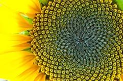makro- słonecznik Obraz Royalty Free