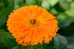 Makro schöne gelbe Blume im Garten verwischt Abschluss oben Stockbild