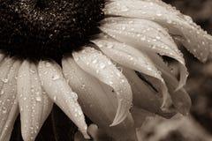 Makro- Sepiowy słonecznik z Raindrops obraz royalty free