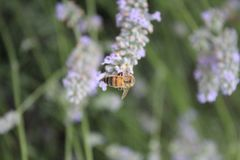 Bee on lavendula. Makro shot of a bee while polinating lavendula Royalty Free Stock Photos