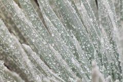 makro skjuten silversword Royaltyfri Foto