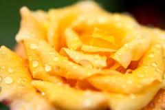 Makro som är nära upp av apelsinen/guling som är mer ond med morgondagg Fotografering för Bildbyråer
