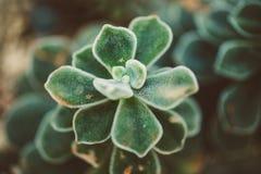 Makro som är nära upp av att slå ut den luddiga suckulenta växten i dämpade färger royaltyfria foton
