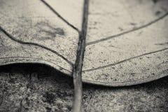 Makro som är nära upp av det döda bladet för detalj som ligger på golvet i svartvitt arkivbild