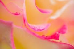 Makro som är nära upp av rosa färg- och gulingros med droppar av dagg Arkivbild