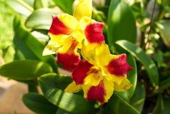 Makro som skjutas av att blomma Catteleya; Thailändsk röd och gul orkidéblomma Arkivbild