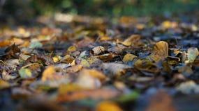 Makro som skjutas av bruna och gula Autumn Dead Leaves på jordningen i en skog arkivfoto