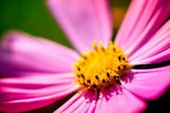 Makro som skjutas av en rosa blomning Royaltyfri Foto