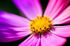 Makro som skjutas av en rosa blomning Royaltyfria Foton