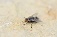 Makro som skjutas av en svart fluga Arkivbilder