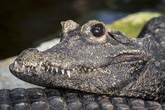 Makro som skjutas av en tropisk krokodil fotografering för bildbyråer